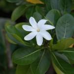 Tiare Flower of Tahiti